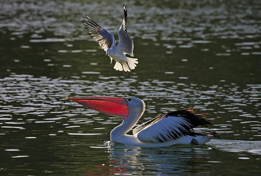 Australian Pelican : Sorry, you're too late . . .