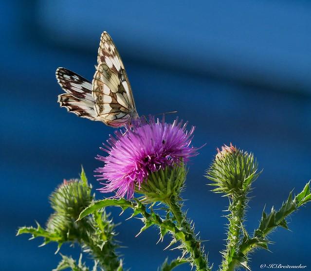 Schmetterling im Morgenlicht.