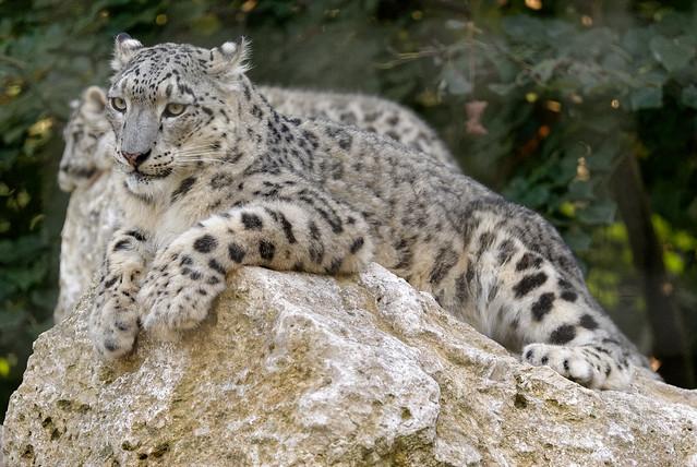 Panthère des neiges - Panthera uncia