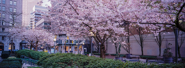 Cherry Blossom - Film Hasselblad