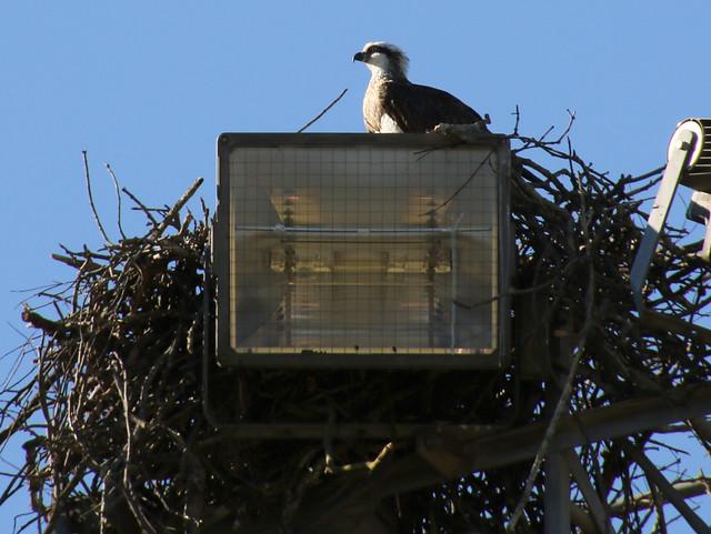 Osprey, Lane Cove River, Sydney