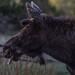 IMG_3751 moose