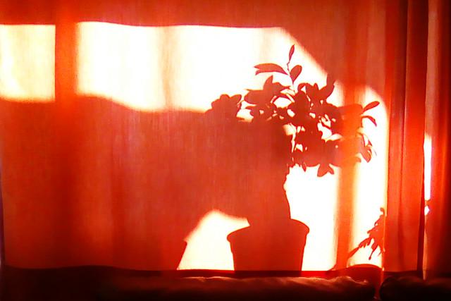 Balkonien 2019 ... Licht und Schatten ... Kuh frisst Zimmerpflanze ... Foto: BS