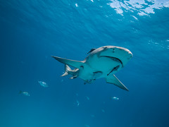 Lemon shark and associates