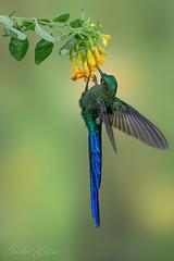 HUMMINGBIRDS - El silfo celeste o cometa colivioleta
