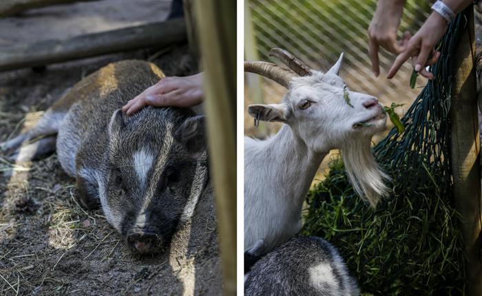 Tykkimäen huvipuisto Kouvola Tykkimäki lasten eläintarha eläimet possu vuohi saako silittää_
