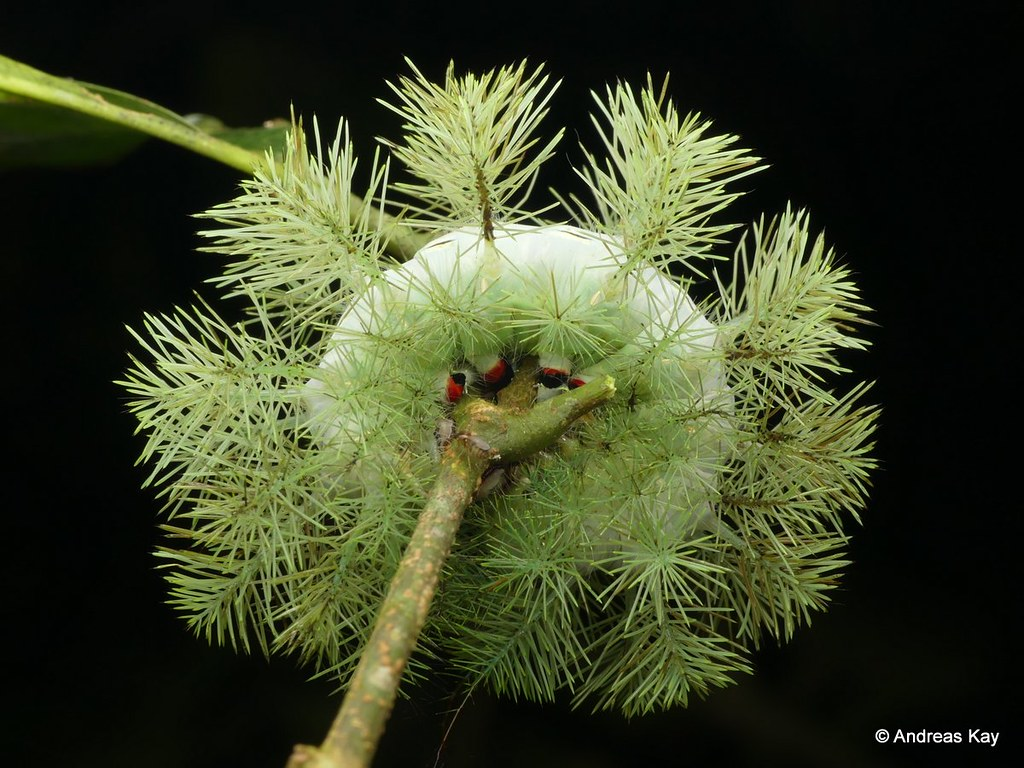 Spiny Caterpillar of a Saturniid Moth