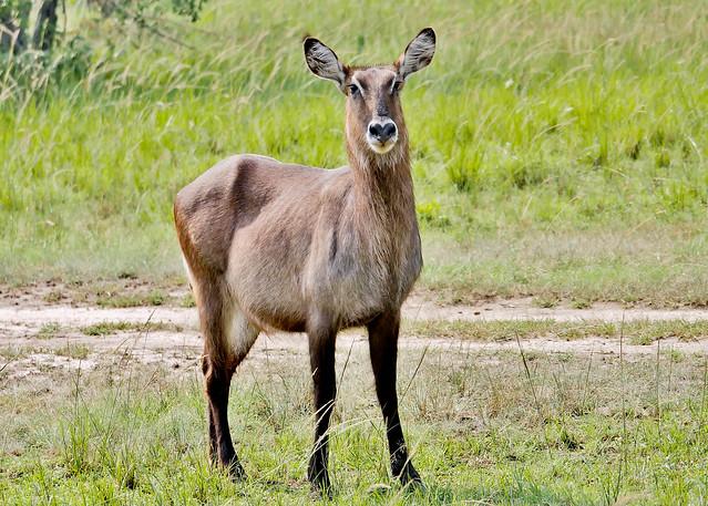 Defassa Waterbuck (Kobus ellipsiprymnus defassa)