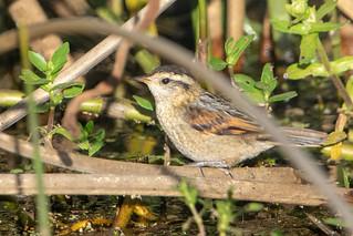 Junquero -  Wren-like rushbird