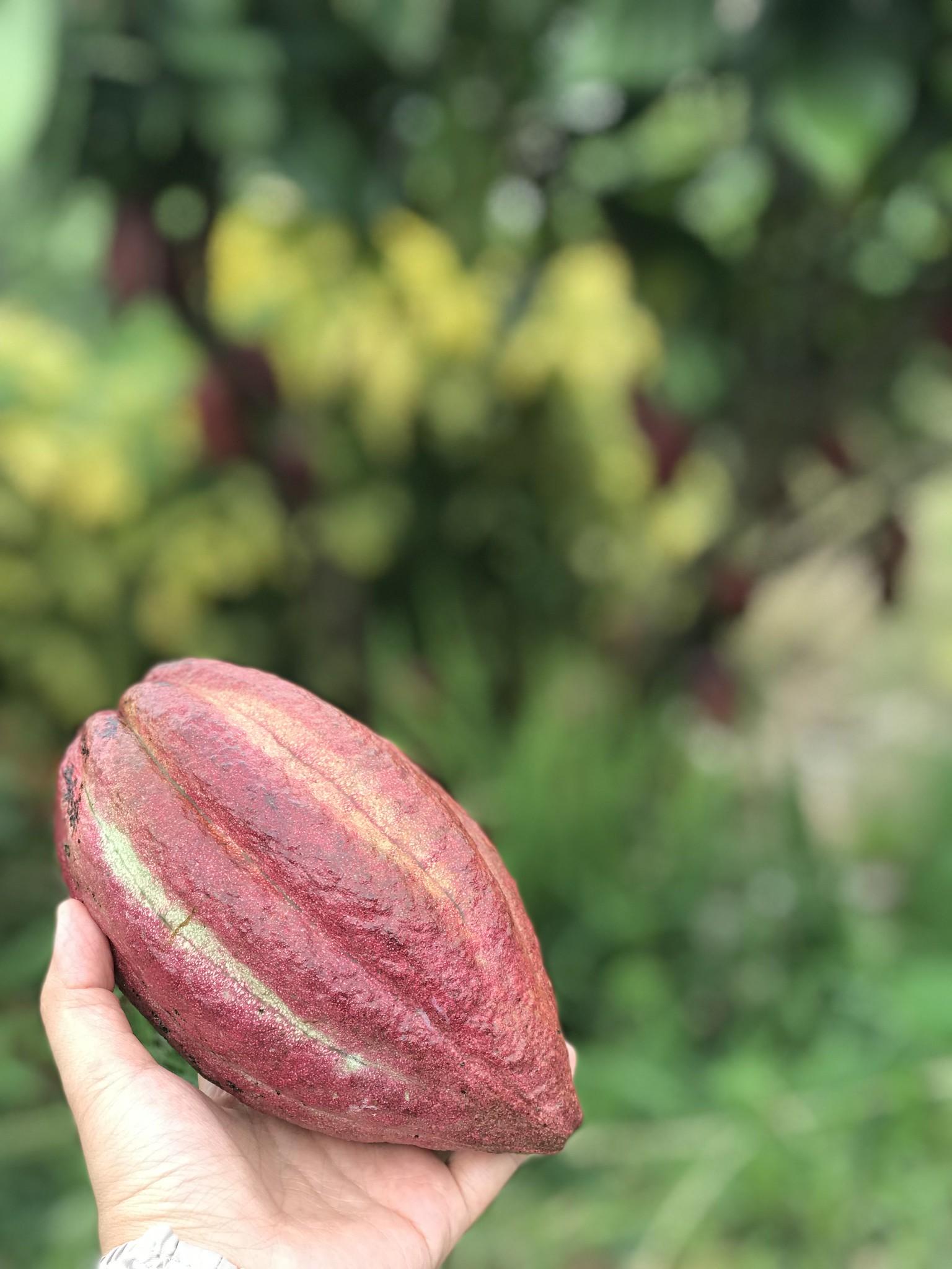 sebul-farm-lake-sebu-cacao.jpg