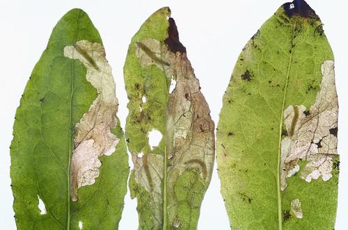 19.010  BF472 Digitivalva pulicariae larvae in mines on Pulicaria dysenterica (fleabane).