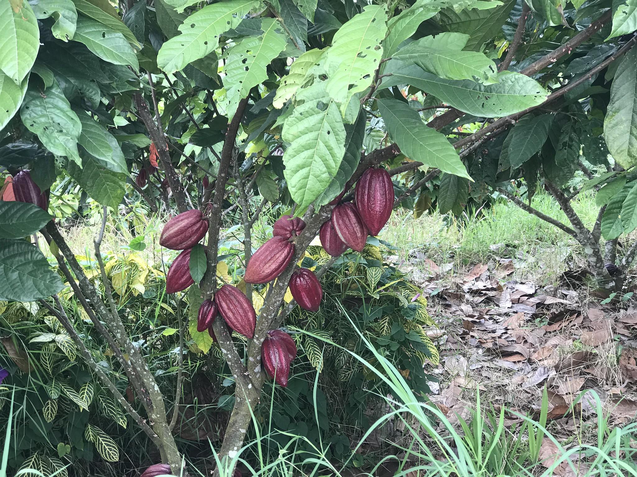 sebul-farm-cacao-lake-sebu.jpg