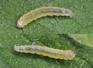 19.010  BF472 Digitivalva pulicariae larva.JPG