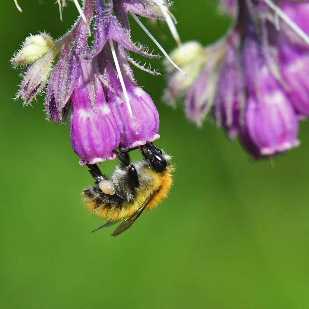 Bourdon - Bumbus - Bumble-bee
