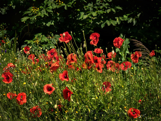 Red poppy - wonderful color of the summer
