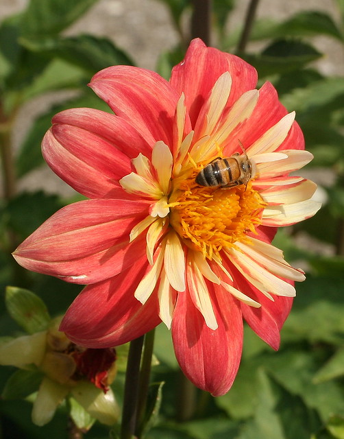 Dahlia with a Guest