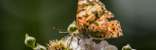 To whom it may concern: Distelvlinder, Vanessa cardui