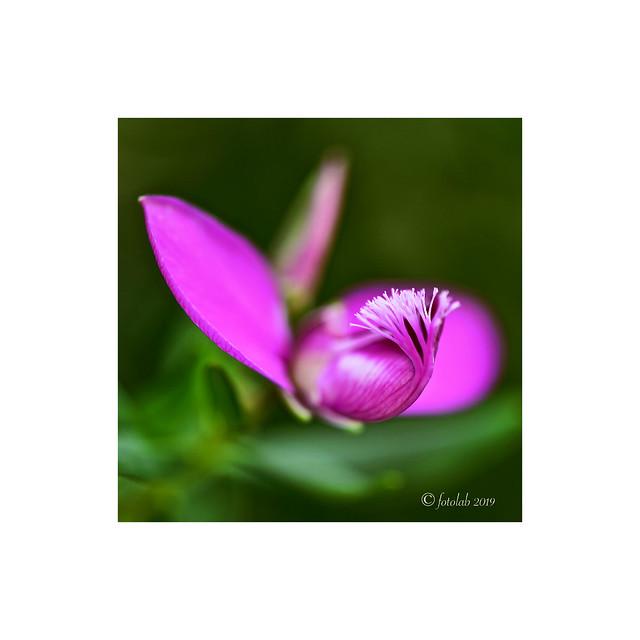 Think Pink,  Polygala myrtifolia