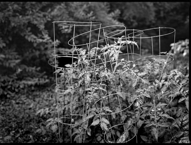 tomato cages, tomato plants, yard, Asheville, NC, Mamiya 645 Pro, mamiya sekor 45mm f-2.8, HC-110 developer, 6.18.19