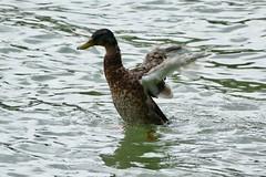 Mallard wild Duck / Stockente / Anas Platyrhynchos in Switzerland