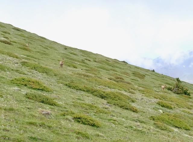 Vuorikauris