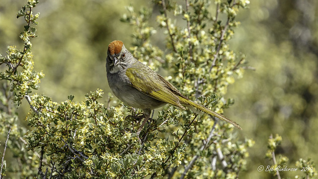 Green-tailed Towhee (m)