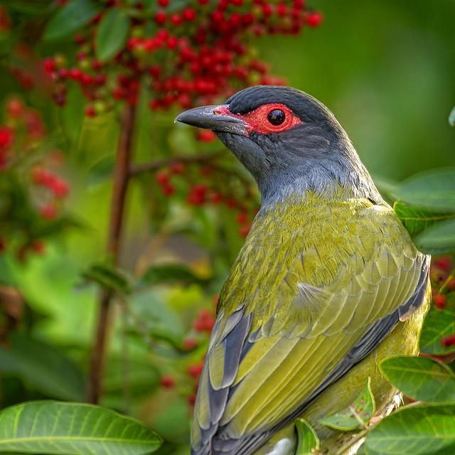 ♂ australasian figbird