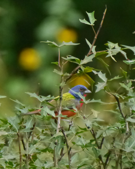 Painted Bunting - 1 - 2