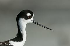 Viuda, Black-necked Stilt (Himantopus mexicanus)