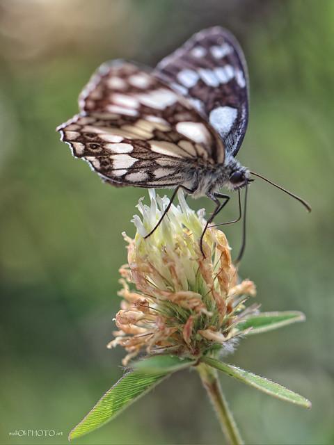 On a clover flower