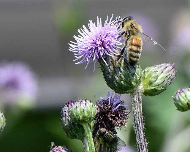 _DSC0752.Honeybee on Thistle