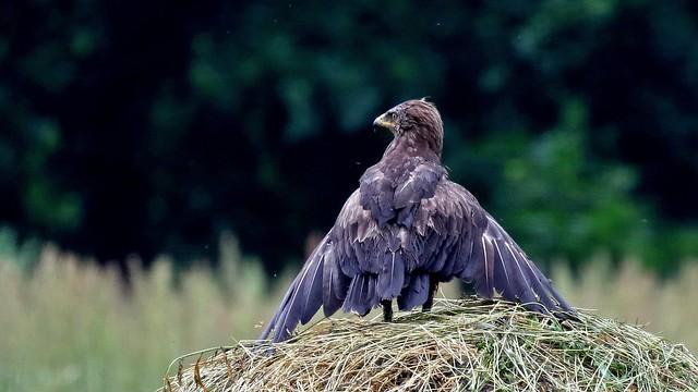 Lesser spotted Eagle - Clanga pomarina