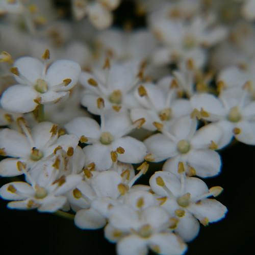 White: elderflowers