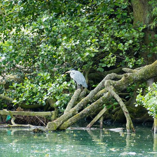 Heron on fallen tree, West Park