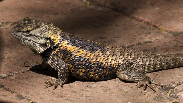 Desert spiny lizard at Café Botanica, Tucson Botanical Gardens