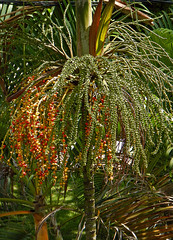 Palm tree going to seed in Penang, Malaysia