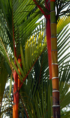 Crazy colouring of the Crytostachys lakka (Red Sealing Wax Palm) with its red and yellow stems and green leaves in Melaka, Malaysia