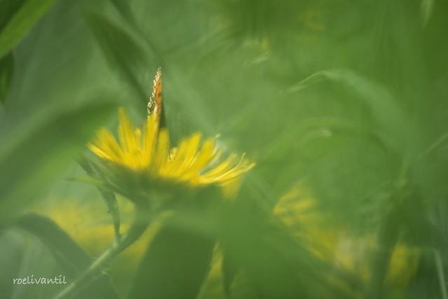 Zomergevoel met parelmoervlinder / Summerfeeling with Fritilary