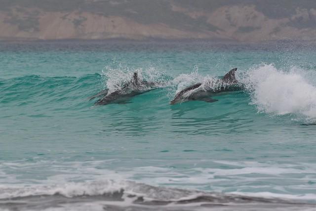 Esperance dolphins surfing at Fourth Beach