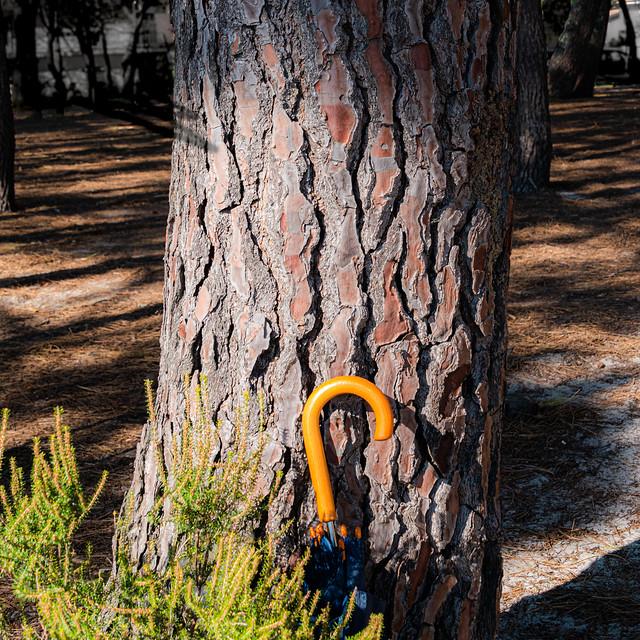 Le pépin des pins