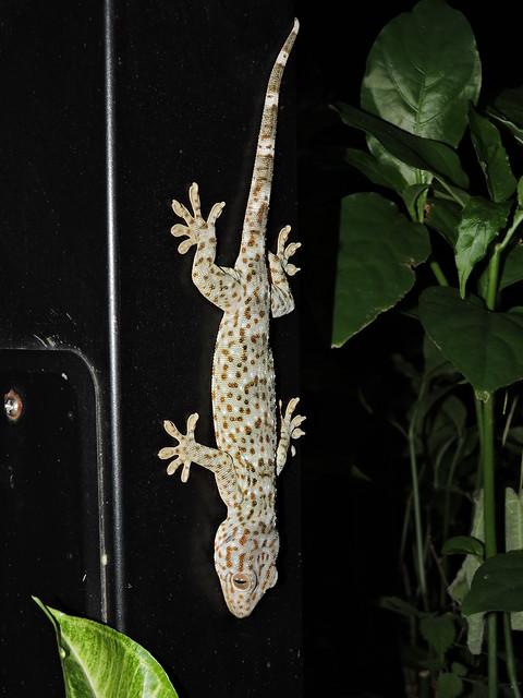 Liuzhou/柳州 - Gekko gecko/Tokay Gecko/大壁虎/Gekon obrovský DSCN7729