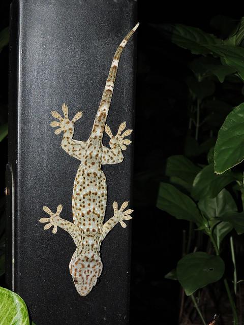 Liuzhou/柳州 - Gekko gecko/Tokay Gecko/大壁虎/Gekon obrovský DSCN7730