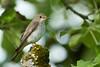 Grauschnäpper - Spotted Flycatcher - Muscicapa striata