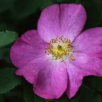A Classic Rose