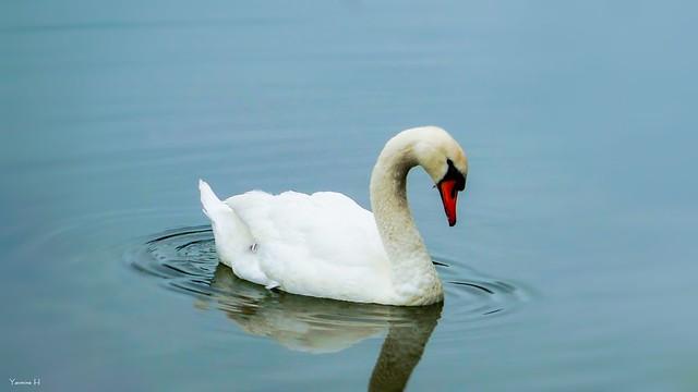 Swan - 6977