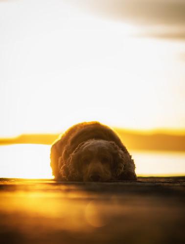 dog fudge cocker spaniel english dublin great south wall sunrise morning sea