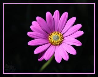 Purply-pink