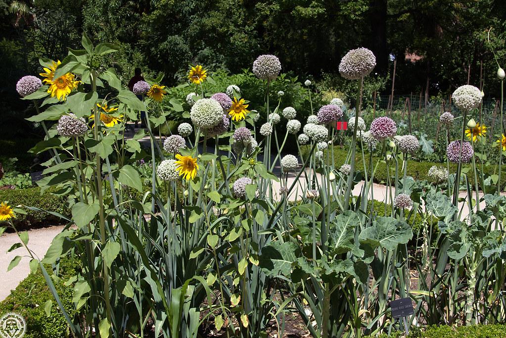 plantel con cebollas floridas