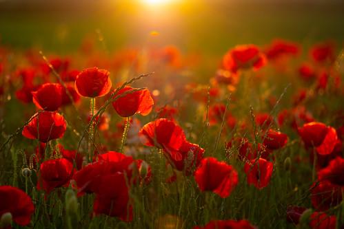 poppy poppyfield sunset chatsworth chatsworthestate earlysummer