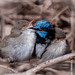 Fairy Wren Huddle